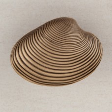 Clam Shell Cabinet Knob - Museum Gold (DP3GP) by Acorn